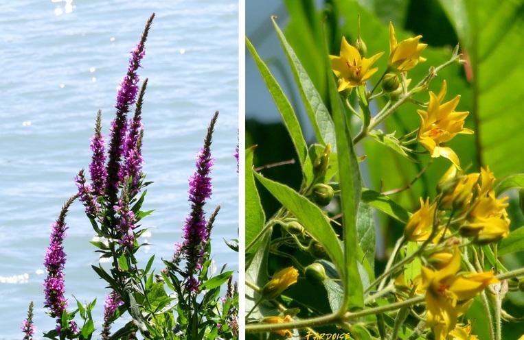Petite famille de canards, herbes folles et roseaux dans le vent