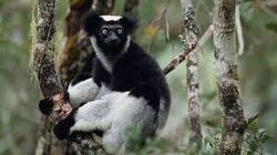 WWF / Dossier n°5 : Les lémuriens.