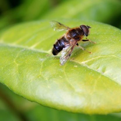 Eristalis Tenax ou Mouche qui imite l'abeille