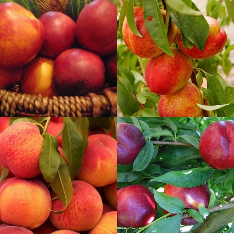 Verrines avec des nectarines