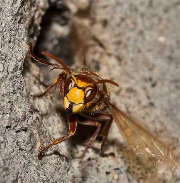 Détour chez les vespa crabro