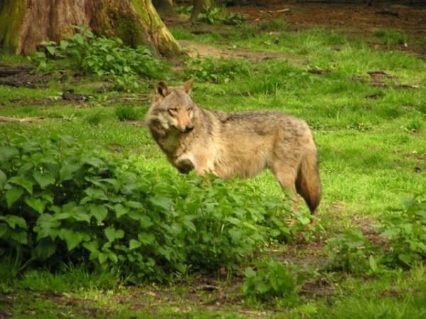 Fabuleux Loup d'Europe - Loups et Légendes ML64