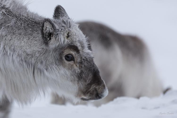 Nos amis les rennes