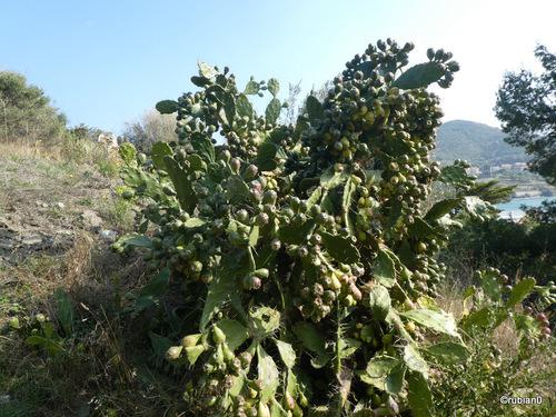 Le Figuier de Barbarie est une espèce de plante de la famille des Cactaceae, originaire du Mexique, qui s'est naturalisée dans d'autres continents, notamment le pourtour méditerranéen et en Afrique du Sud et Afrique du Nord.