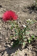 metrosideros kermadecensis variegata (arbre de noël)