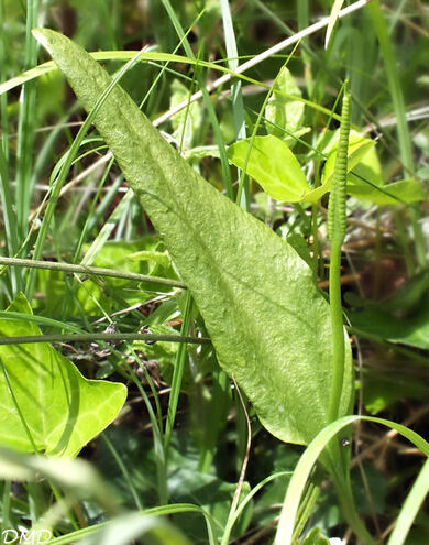 Ophioglossum vulgatum  -  ophioglosse