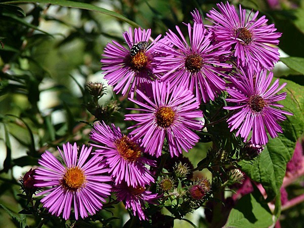 Aster 20-09-004
