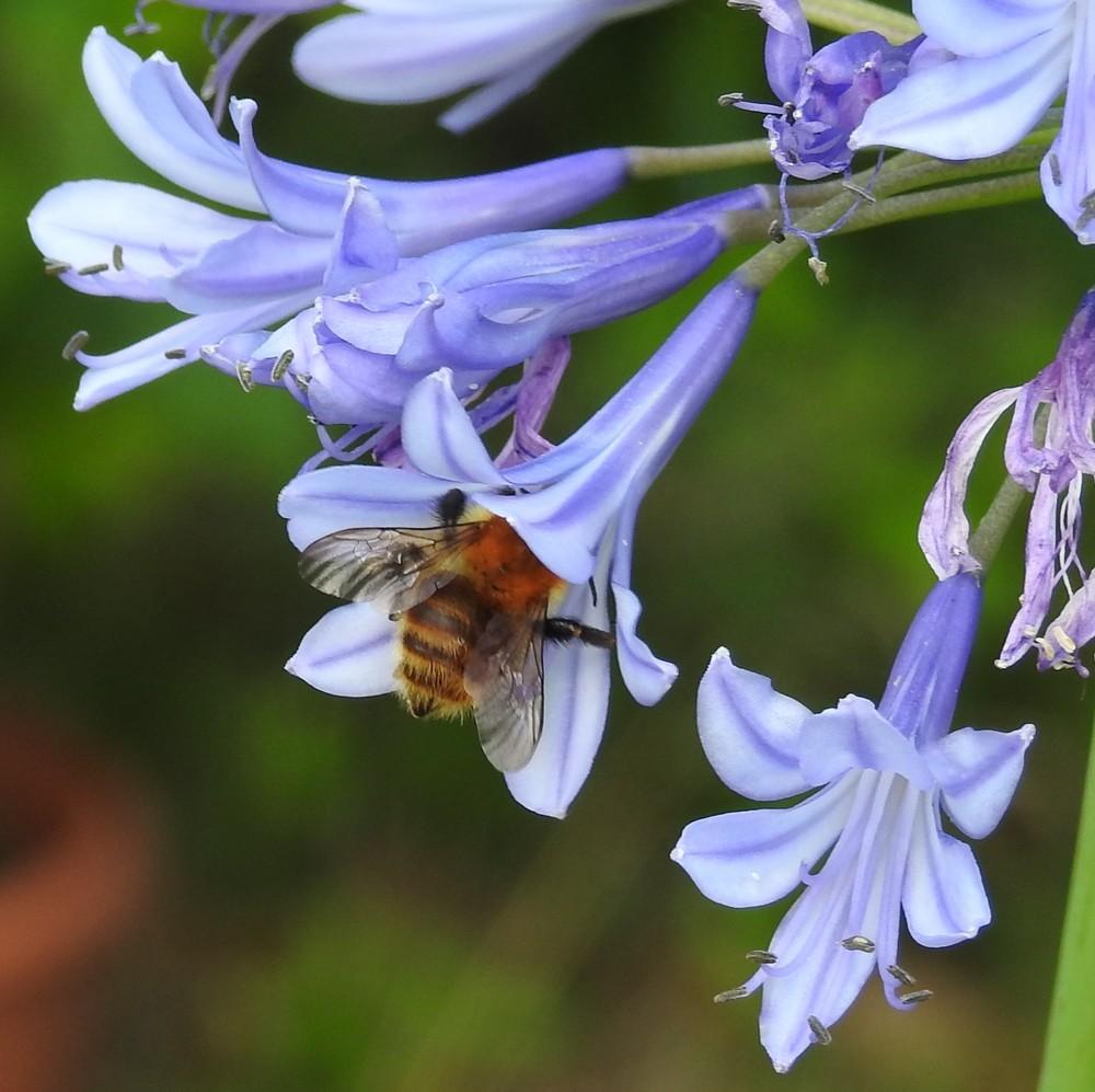 Les fleurs de mon jardin : les agapanthes...