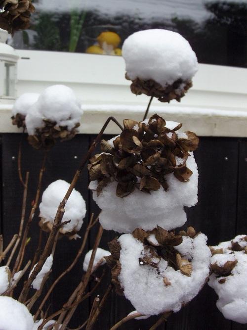 Hortensias sous la neige