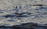 Mouette rieuse - p220