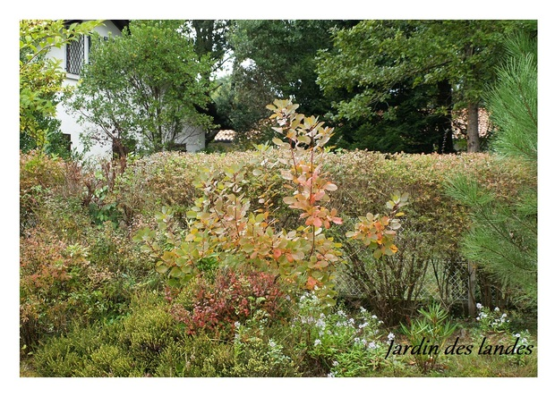 La plante de la semaine - Le Cotinus