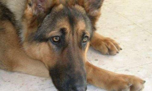 Justice pour le berger allemand retrouvé calciné avec les pattes brisées à Equihen – Plage