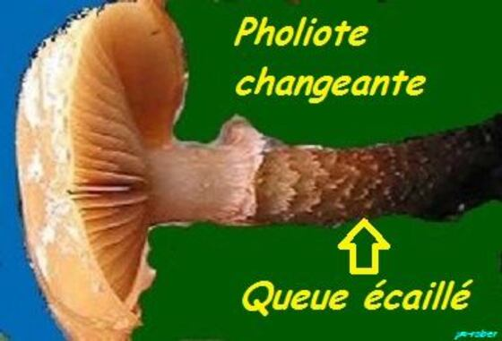 Jardin: Pholiote ou Galère?