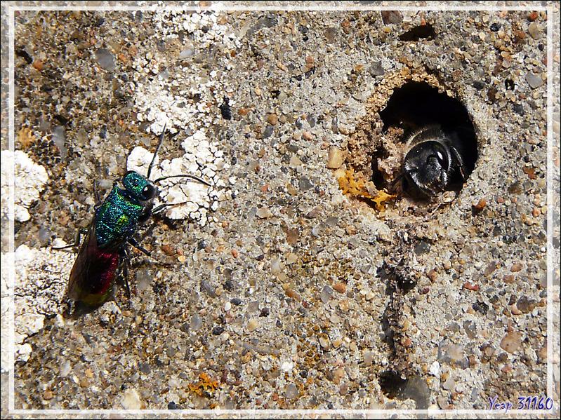Chryside enflammée (Chrysis ignita) ou guêpe coucou - La Couarde-sur-Mer - Ile de Ré - 17