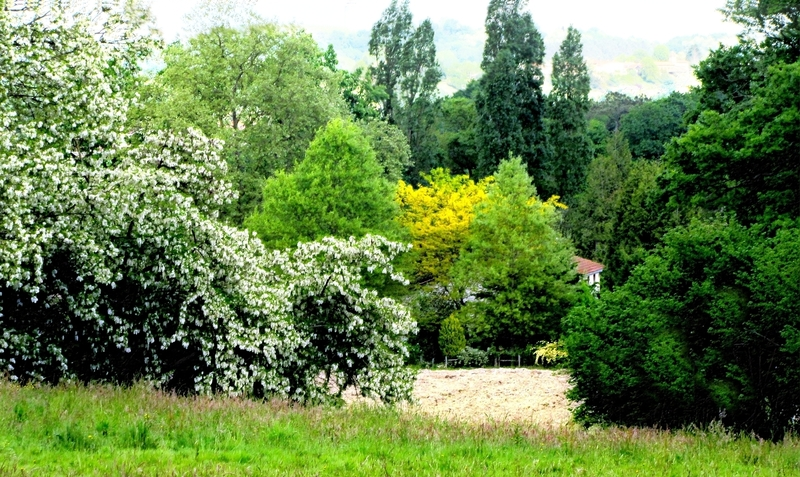 Paysage, acacias en fleurs