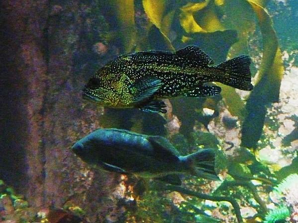 Jour 28 Vancouver aquarium China Rockfish