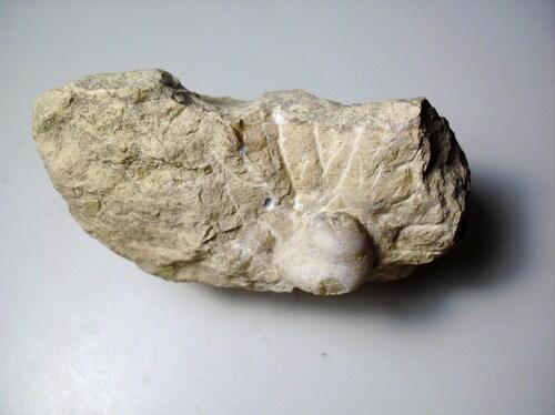 Gastéropode...