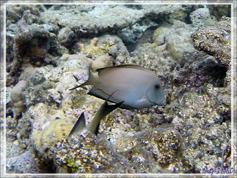 Snorkeling : Poisson-chirurgien strié, Maïto, Lined bristlethooth, Striated surgeonfish (Ctenochaetus striatus) - Moofushi - Atoll d'Ari - Maldives