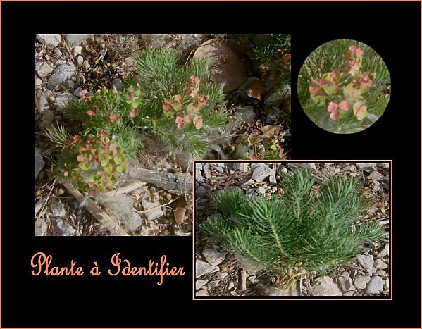 plante à identifier