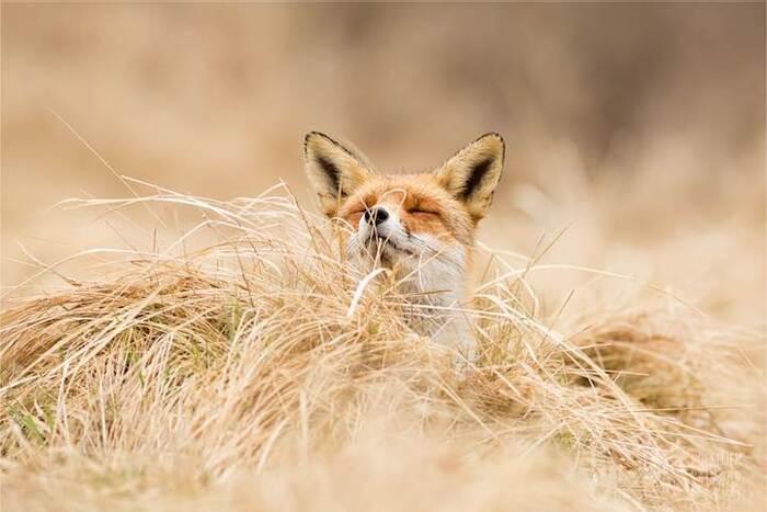 Interview: d'adorables renards capturés dans un état de félicité zen