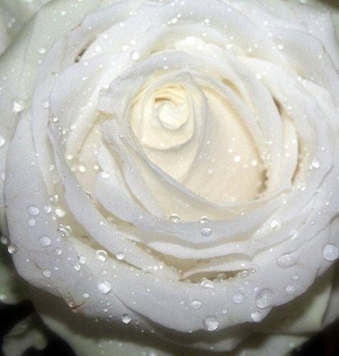 roses-france-1102987096-1137375