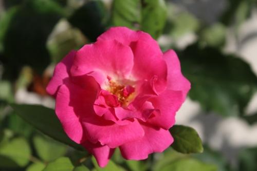 Remontée de roses