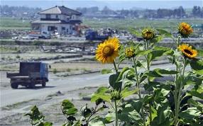 Les racines de tournesol soignent fukushima ...