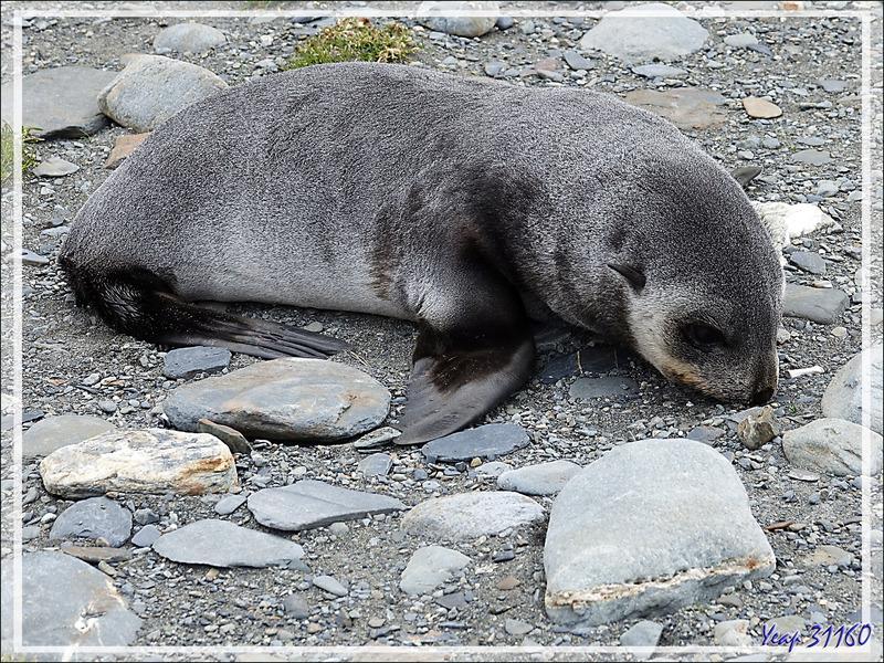 Les craquants juvéniles Otarie à fourrure antarctique ou Otarie de Kerguelen (Arctocephalus gazella) - Whistle Cove - Fortuna Bay - Géorgie du Sud