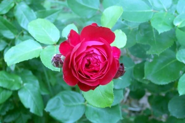 X8 - Rose rouge