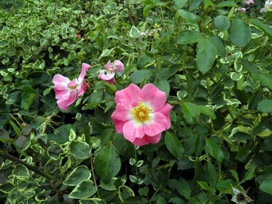 Des roses pour vous durant ma pause