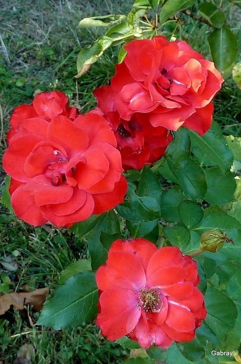 c07---Trois-roses.JPG