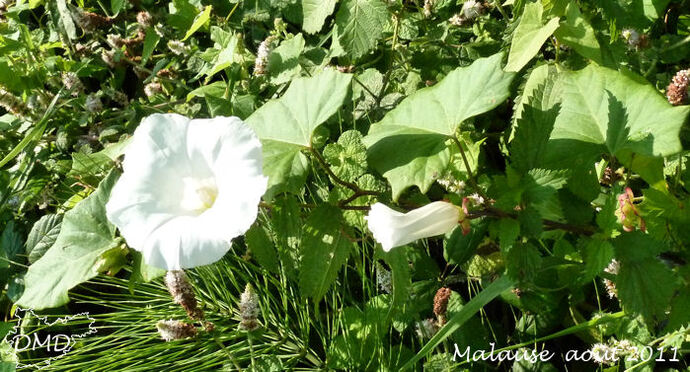 Convolvulus sepium = Calystegia sepium - liseron des haies