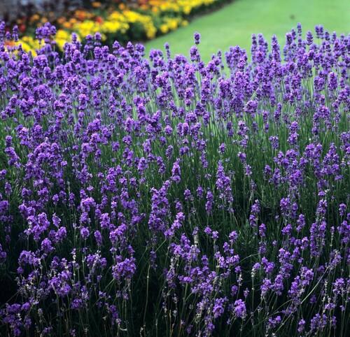 Fleurs cultivées : Lavande