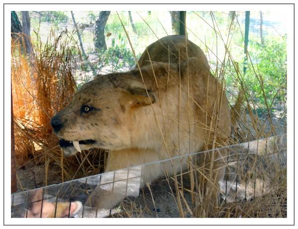 sous l' oeil du redoutable tigre à dents de sabre