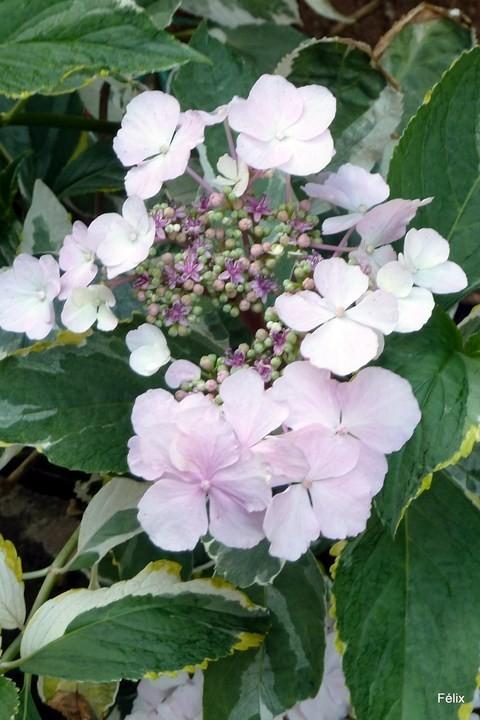 u05---Des-hortensias.JPG