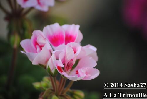 A la Trimouille- Fleurs du Jardin.