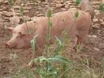 cochon dans une ferme bio
