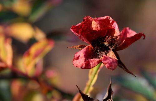 Une rose oubliée