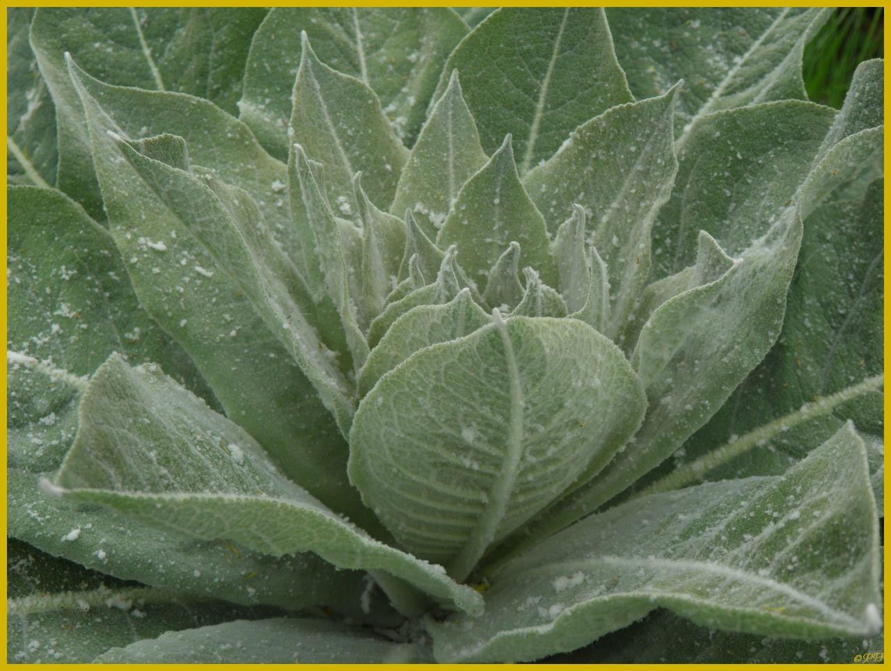 Fleurs jaunes floredulanguedocroussillon for Plante urticante