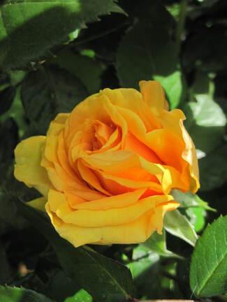 Identification d'un rosier David Austin orangé clair. SOS