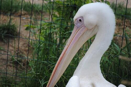 (3) Le pélican blanc.