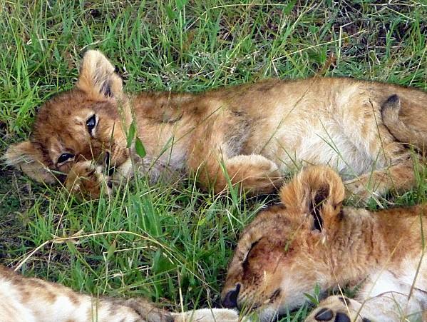 Bébés lions dorment 2