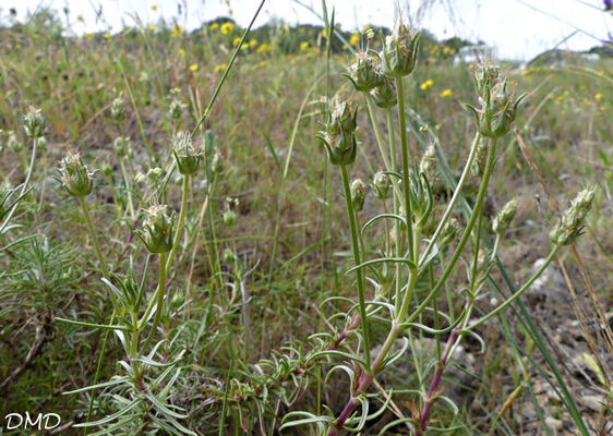 Plantago sempervirens  -  plantain toujours vert