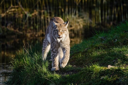 le voyage du lynx - libre dans les Vosges - Un jour dans la nature