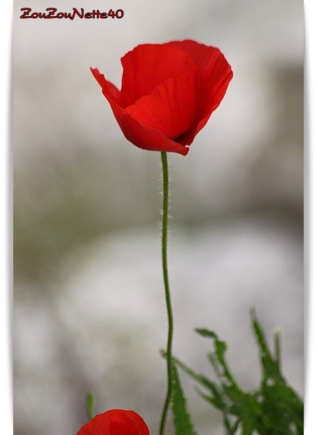 COQUELICOT-N--5-.jpg