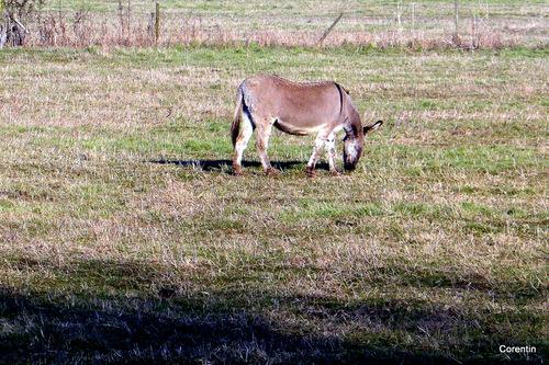 Trois ânes dans un pré