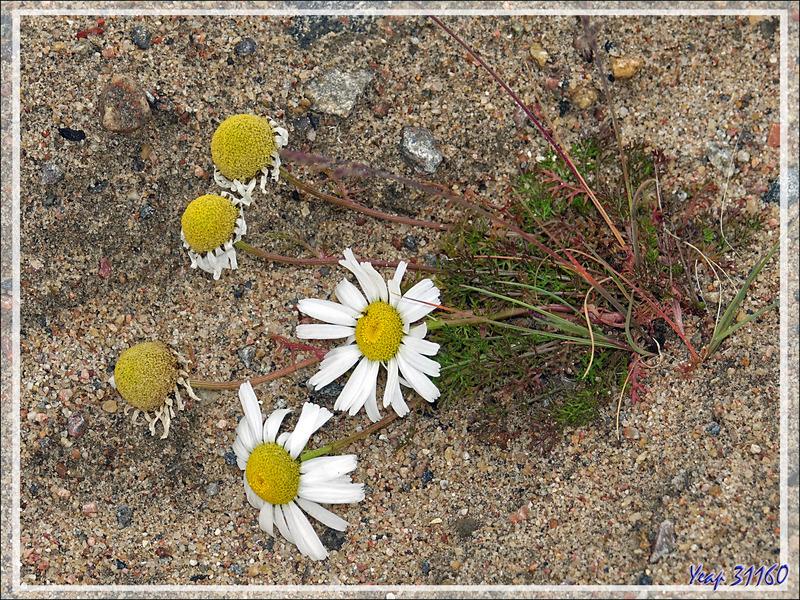 Marguerite arctique, Arctic daisy, Entire-leaved daisy (Arctanthemum integrifolium) - Pond Inlet - Baffin Island - Nunavut - Canada
