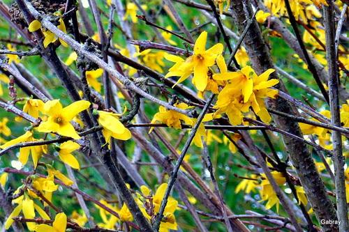 Mes forsythias aux fleurs jaunes
