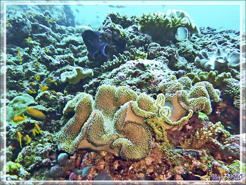 Corail-cuir, Corail-champignon, Mushroom leather coral (Sarcophyton trocheliophorum ?) - Moofushi - Atoll d'Ari - Maldives