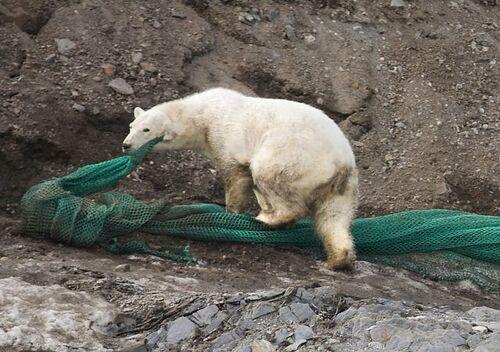 Ours avec son filet de pêche en boucle d'oreille (photo Svalbardposten)